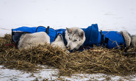 Long distance siberian sled dogs resting in blankets during the race Stock Photos
