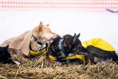 Long distance siberian sled dogs resting in blankets during the race Royalty Free Stock Photos