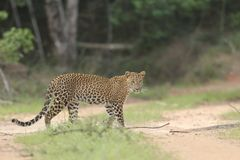 Long distance sighting,Going Forward,Is a skillful hunter Leopard.it`s a unique skin hero. stock images