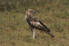 Long distances, Sharp Eyes,The Picture Target ,Crested Hawk Eagle,long upright crest,seldom soars,wings flat. royalty free stock photo