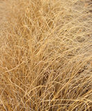 Long dry grass Royalty Free Stock Photos