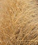 Long dry grass Royalty Free Stock Photos
