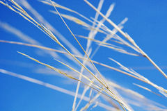 Long dry grass on a clear blue sky background. Stock Photo