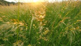 Long dry grass swing in wind, sunset in the background.