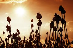 Long dry stalk of poppy seed. Evening field of poppy heads  with sun at horizon. Royalty Free Stock Photography