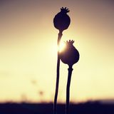Long dry stalk of poppy seed. Evening field of poppy heads  with sun at horizon. Royalty Free Stock Images