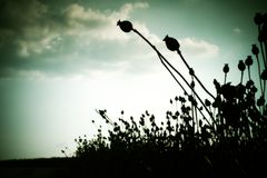 Long dry stalk of poppy seed. Evening field of poppy heads  with sun at horizon. Stock Photo