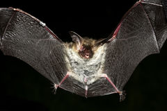 Long ear bat Stock Image