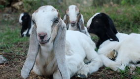 Long eared Anglo Nubian baby goats stock footage