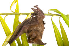 Long-eared bat on branch. Bat close up on branch Royalty Free Stock Photo