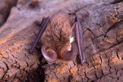 Long-eared bat. Bat close up on a bark background Stock Photography