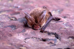 Long-eared bat. Bat close up on a stone background Stock Photo