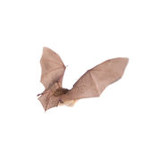 Long-eared bat in flight isolated on white Stock Images