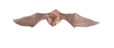 Long-eared bat fly. Bat close up on a white background Stock Photo