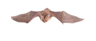 Long-eared bat fly Stock Photo