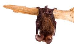 Long-eared bat isolated on white Stock Photo