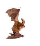 Long-eared bat isolated on white Royalty Free Stock Photos