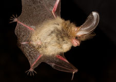 Long-eared bat Plecotus auritus. Flying on the dark night Royalty Free Stock Photo