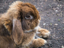 Long eared brown rabbit. Head and feet profile close up of a brown long eared rabbit sitting with his feet forward. His fur is very soft Royalty Free Stock Photo