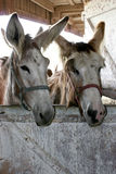 Long eared donkeys. A couple of long eared donkeys Stock Photo