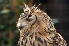 Long Eared Eagle Owl. Eagle owl in an enclosure, side profile. Includes some soft focus background elements Stock Photography