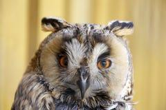 Long-eared Eule Stockfoto