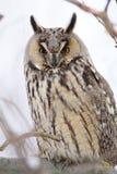 Long-eared Eule Lizenzfreies Stockbild