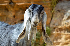 Long Eared Goat. Goats grazing in the Middle East royalty free stock photo