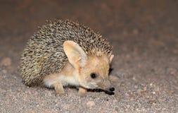 The Long-eared hedgehog in desert