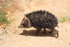 Long-eared hedgehog Royalty Free Stock Photos