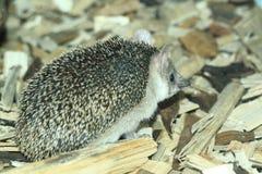 Long-eared hedgehog stock photos