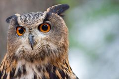 Long -eared owl Royalty Free Stock Images