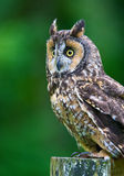Long-eared Owl Royalty Free Stock Photos