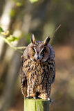 A long eared owl. Sitting on a fence post in a forest Stock Photo
