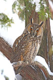 Long-eared owl. (Asio otus) in the tree Stock Images