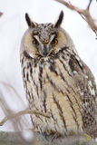 Long-eared Owl Royalty Free Stock Image