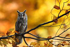 Long-eared Owl. Sitting on the tree Royalty Free Stock Photo