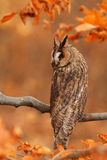 Long-eared Owl. Sitting on the tree Royalty Free Stock Photography