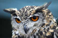 Long Eared owl Stock Photography