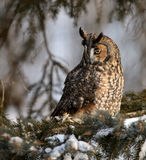 Long eared owl. Perched on pine tree branch.  Winter scene Royalty Free Stock Photos