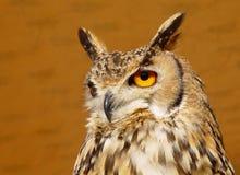 A Long-eared Owl. Long-eard Owl (asio otis) Ibiza, Spain Stock Photography