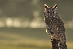 Long-eared Owl. Sitting on branch in sunrise stock images