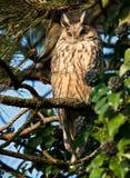 Long eared Owl. Enjoying the sun in a tree Royalty Free Stock Photo