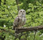 Long-eared Owl arkivbilder