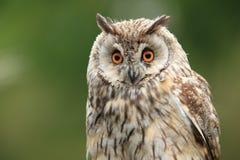 Long-eared owl fotografering för bildbyråer