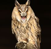 Long Eared Owl Royalty Free Stock Images