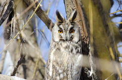 Long eared owl. (asio otus Stock Images