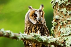 Long eared owl. Long-eared owl - Asio otus portrait Stock Photos