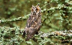 Long eared owl. Long-eared owl - Asio otus portrait on a tree Royalty Free Stock Photos