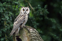 Long-Eared Owl. Long Eared Owl in a forest in England Royalty Free Stock Images